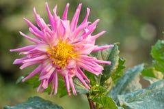 Pink dahlia flower. Beautiful pink dahlia flower bloom Royalty Free Stock Photo