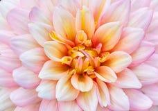 Pink dahlia flower. Beautiful pink dahlia flower bloom Stock Photos