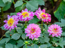 Beautiful pink dahlia flower blooming in the garden Royalty Free Stock Photos