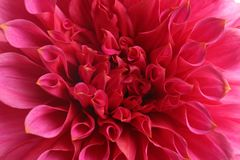 Beautiful pink dahlia flower, closeup view. Floral decoration stock photography