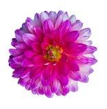 Beautiful pink dahlia Dahlia. Dahlia flower. Dahlias isolated on. White background Royalty Free Stock Image