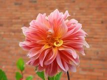Pink   dahlia flower in summer garden , Lithuania. Beautiful pink dahlia flower in garden in summer Stock Photos