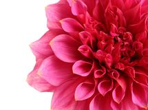 Beautiful pink dahlia flower on white background. Closeup stock photos