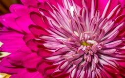 Beautiful pink Dahlia flower. With a yellow center Stock Photos