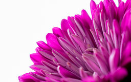 Beautiful pink Dahlia flower Stock Photography