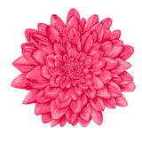 Beautiful pink dahlia isolated on white background. Royalty Free Stock Photos