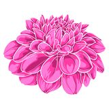 Beautiful pink dahlia isolated on white background. for greeting cards and invitations of the wedding, birthday, Valentine's Day, Royalty Free Stock Photography