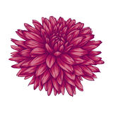 Beautiful pink dahlia isolated on white background. Royalty Free Stock Images