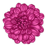 Beautiful pink dahlia isolated on white background. For greeting cards and invitations of the wedding, birthday, Valentine's Day, mother's day and other Royalty Free Stock Photography