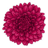 Beautiful pink dahlia isolated on white background. Royalty Free Stock Photography
