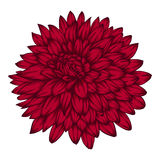 Beautiful pink dahlia isolated on white background. Stock Photo