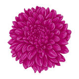 Beautiful pink dahlia  on white background. Royalty Free Stock Images