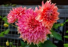 beautiful pink dahlias Royalty Free Stock Photos