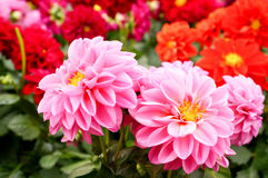 Beautiful pink Dahlias blossoms Stock Photography