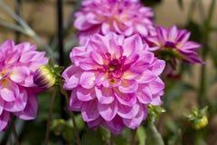 Beautiful pink dahlias Stock Photo