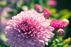 Beautiful pink dahlias flower. In garden Royalty Free Stock Photography