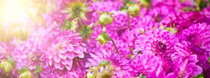 Beautiful pink dahlias flowers. Long wide banner Royalty Free Stock Photos