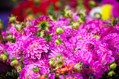 Beautiful pink dahlias flowers. Horizontal shot with selective focus Royalty Free Stock Images