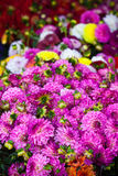Beautiful pink dahlias flowers. Vertical shot with selective focus Royalty Free Stock Photography