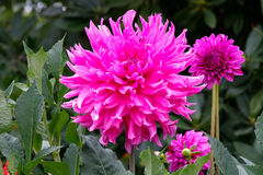 Beautiful pink Dahlias. In full bloom Royalty Free Stock Image