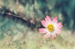 Beautiful Pink daisy/Bellis perennis on the green blurred garden.  Stock Photography