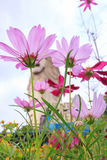 Beautiful Pink Daisy Flowers In Sentosa Garden Stock Photos