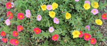 Beautiful pink, dark pink and yellow portulaca oleracea flower for background. Colorful variety flower also known as common purslane, verdolaga, little hogweed Stock Images