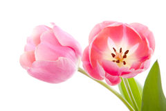 Beautiful pink Dutch tulips Royalty Free Stock Image