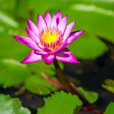 Beautiful pink Egyptian water lily Royalty Free Stock Images