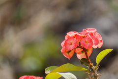 Beautiful pink Eight Immortals flower in garden. Royalty Free Stock Photo