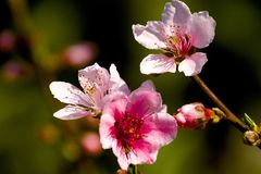 Beautiful Pink Elegant Japanese Pear Flower Stock Photo