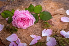 Beautiful pink English rose flower on vintage wooden background Royalty Free Stock Image