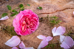 Beautiful pink English rose flower on vintage wooden background Royalty Free Stock Photography