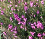Pink Erica gracilis. Beautiful Pink Erica gracilis in a garden royalty free stock photography