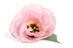 Beautiful pink eustoma flower Royalty Free Stock Photography