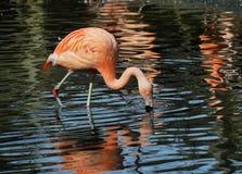 Beautiful pink flamingo Stock Photography