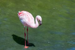 Beautiful pink flamingo, bird on the shore of the pond, a warm spring day, Royalty Free Stock Photos