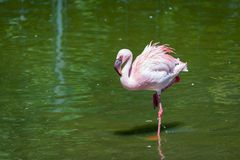 Beautiful pink flamingo, bird on the shore of the pond, a warm spring day, Royalty Free Stock Images
