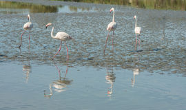 Beautiful pink flamingo birds in Camargue national park in France. Beautiful pink flamingo birds during feeding time in Camargue national park in France Royalty Free Stock Photo