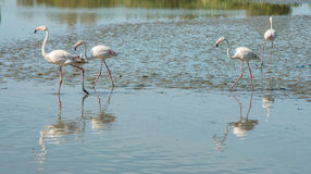 Beautiful pink flamingo birds in Camargue national park in France. Beautiful pink flamingo birds during feeding time in Camargue national park in France Royalty Free Stock Images