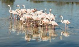 Beautiful pink flamingo birds in Camargue national park in France. Beautiful pink flamingo birds during feeding time in Camargue national park in France Stock Photo