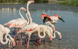 Beautiful pink flamingo birds in Camargue national park in France Stock Photos