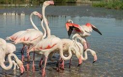 Beautiful pink flamingo birds in Camargue national park in France. Beautiful pink flamingo birds during feeding time in Camargue national park in France Stock Photos