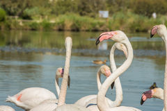 Beautiful pink flamingo birds in Camargue national park in France. Beautiful pink flamingo birds during feeding time in Camargue national park in France Royalty Free Stock Photography