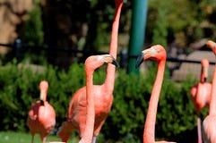 Beautiful Pink Flamingo having a conversation in the Oklahoma City Zoo stock photos