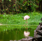 Beautiful pink flamingo Royalty Free Stock Images