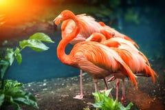 Beautiful pink flamingo standing at water edge. Animal backgroun