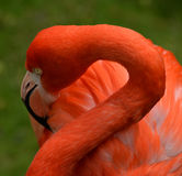 Beautiful Pink Flamingo with twisted neck. Pink Flamingo with twisted neck and open eye Stock Photo