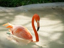 beautiful pink flamingo with wild animals in background stock photos
