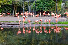 Beautiful pink flamingos in bird zoo park in Walsrode, Germany. Interesting park for families, children and school. Excursion trips royalty free stock image